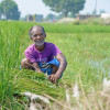 """Because of the excess water, the paddy is of no more use. B"